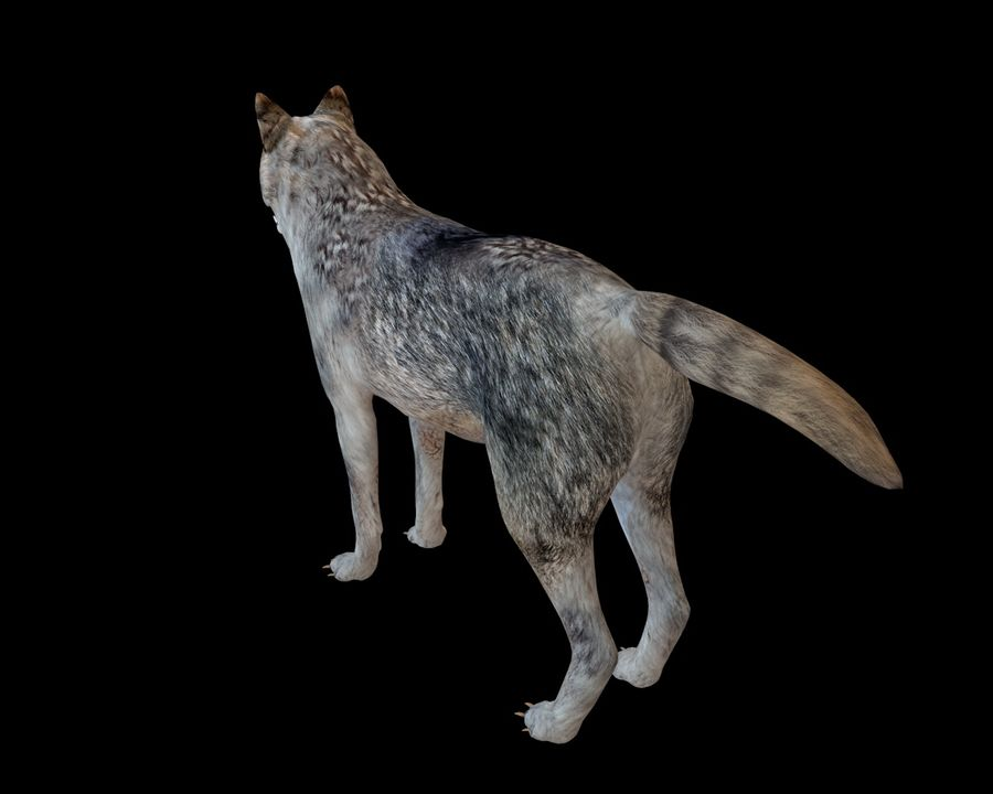 Wolf Rigged royalty-free 3d model - Preview no. 9