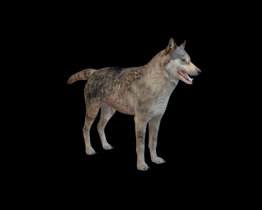 Wolf Rigged royalty-free 3d model - Preview no. 13