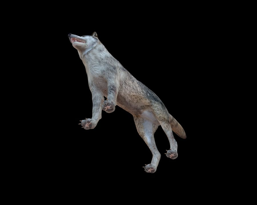 Wolf Rigged royalty-free 3d model - Preview no. 8