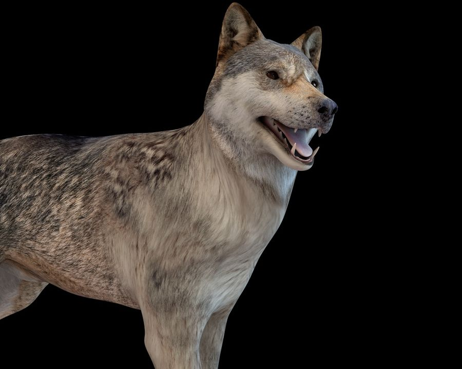 Wolf Rigged royalty-free 3d model - Preview no. 4