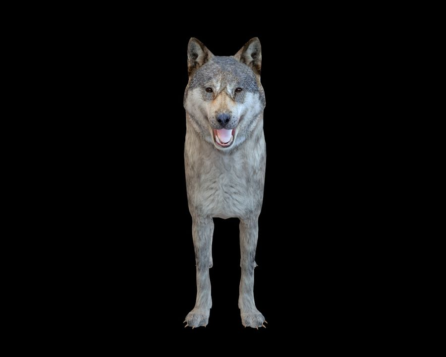 Wolf Rigged royalty-free 3d model - Preview no. 7