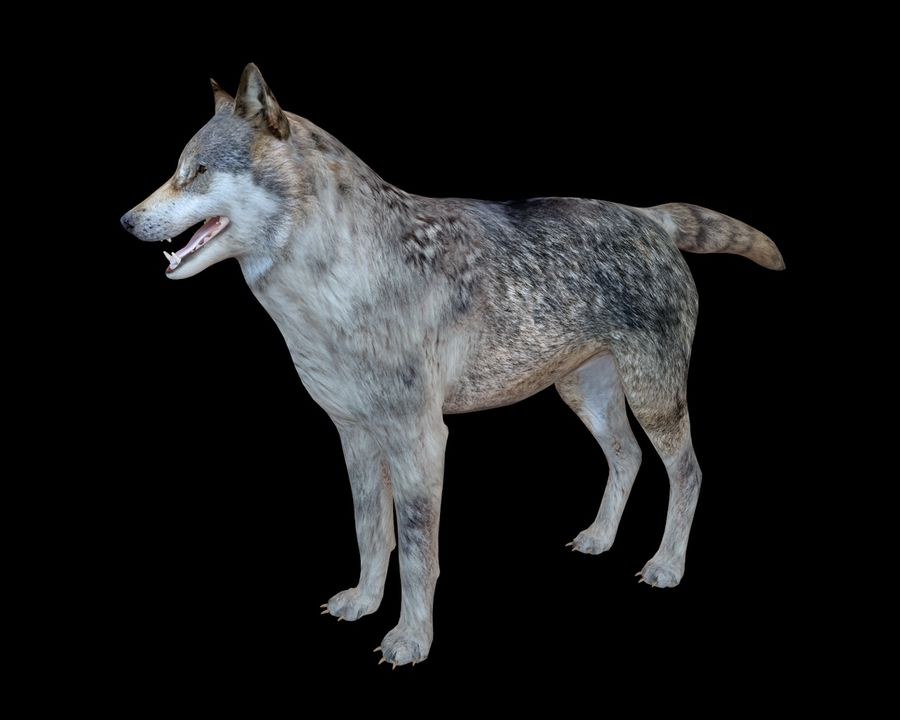 Wolf Rigged royalty-free 3d model - Preview no. 6