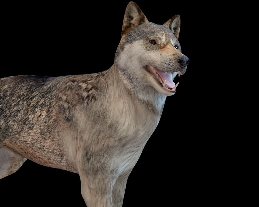Wolf Rigged royalty-free 3d model - Preview no. 5