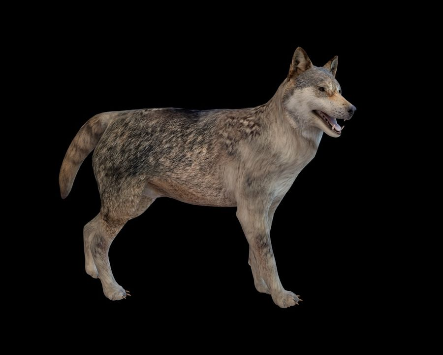 Wolf Rigged royalty-free 3d model - Preview no. 3