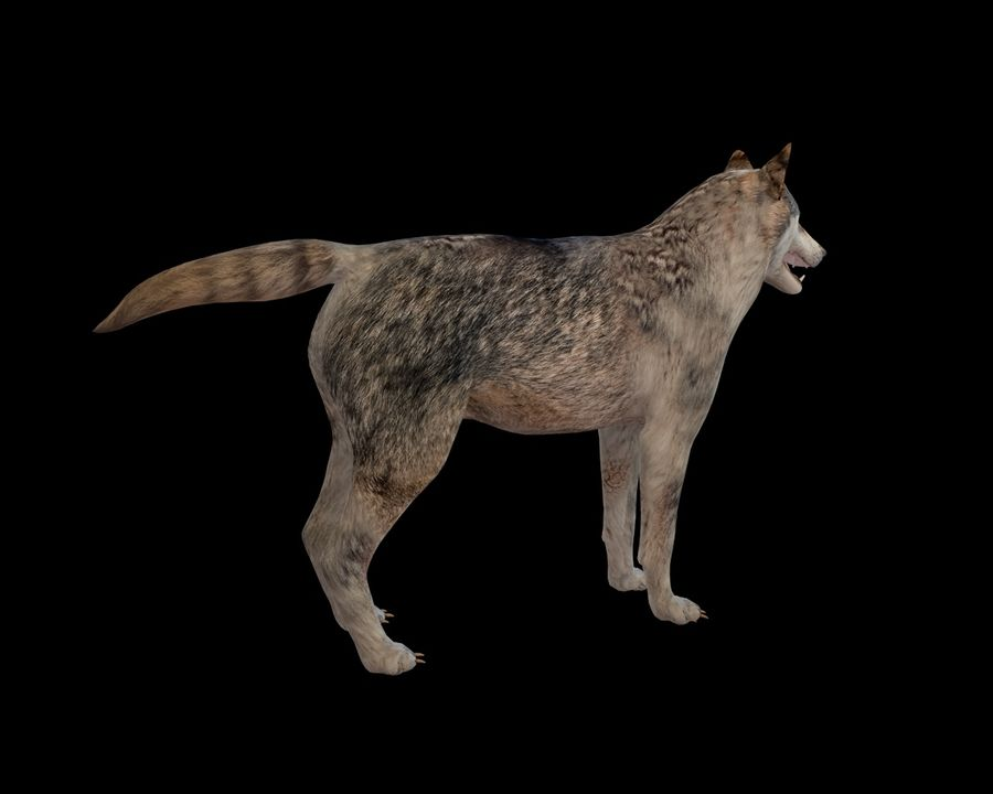 Wolf Rigged royalty-free 3d model - Preview no. 12