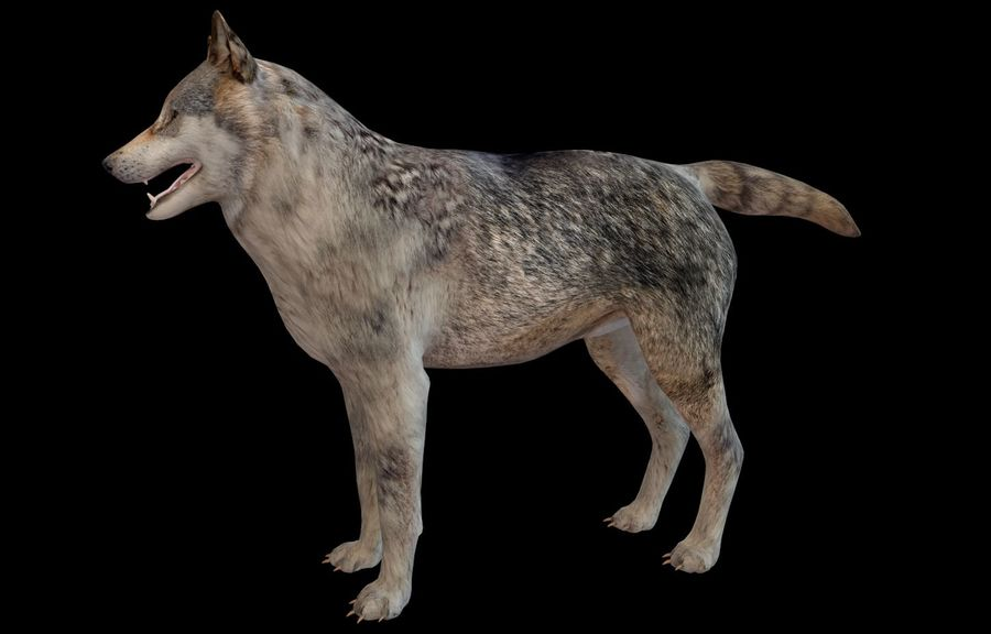Wolf Rigged royalty-free 3d model - Preview no. 19
