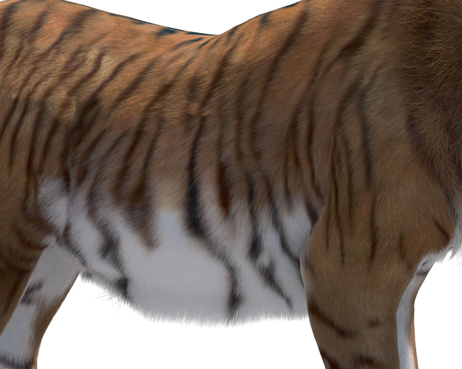 Tiger royalty-free 3d model - Preview no. 7