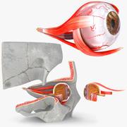 Oeil avec coupe anatomique 3d model