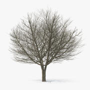 Inverno di frassino bianco 3d model