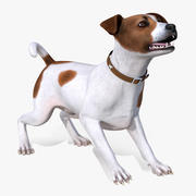 Jack Russell Terrier Malhado 3d model