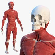 Male Skeleton and Muscular System 3d model