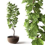 Ficus Lyrata 3d model