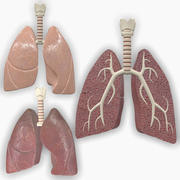 Polmoni anatomici umani 3d model