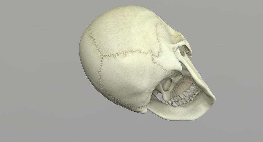 Человеческий череп royalty-free 3d model - Preview no. 24
