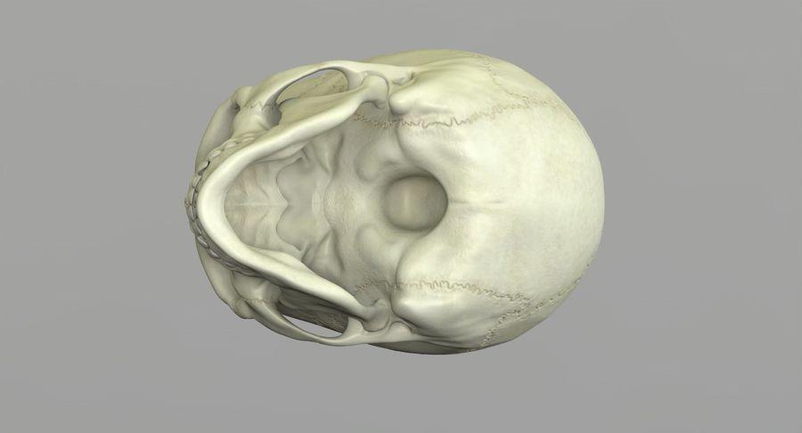Человеческий череп royalty-free 3d model - Preview no. 26