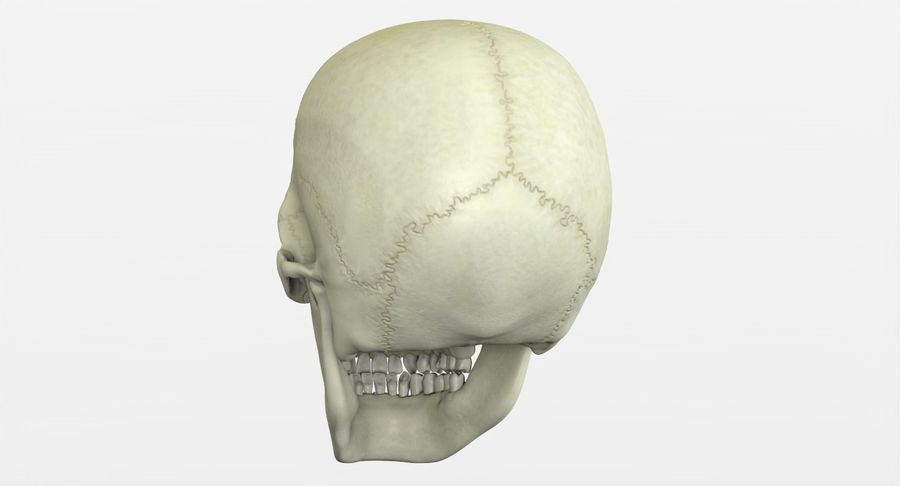 Человеческий череп royalty-free 3d model - Preview no. 12