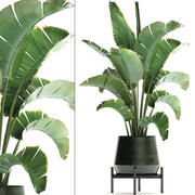 Exotic plants banana tree 446 3d model
