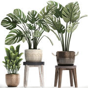Collection Exotic plants Monstera 447 3d model