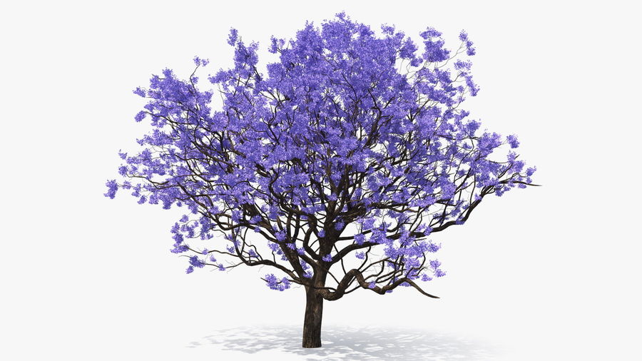Blühender Jacaranda-Baum ohne Blätter royalty-free 3d model - Preview no. 6