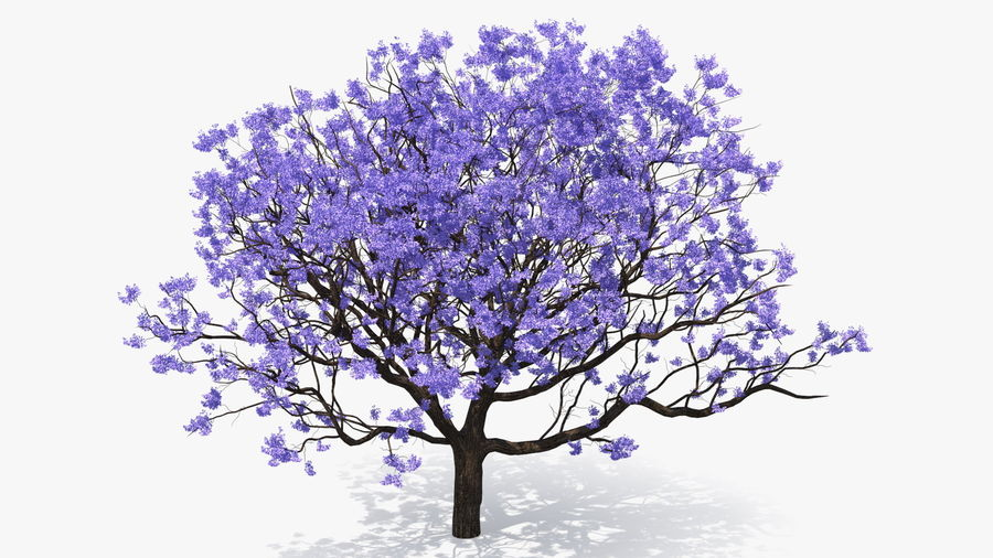 Blühender Jacaranda-Baum ohne Blätter royalty-free 3d model - Preview no. 7