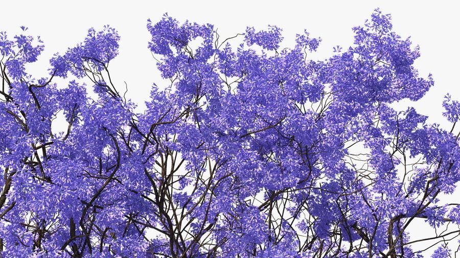 Blühender Jacaranda-Baum ohne Blätter royalty-free 3d model - Preview no. 15