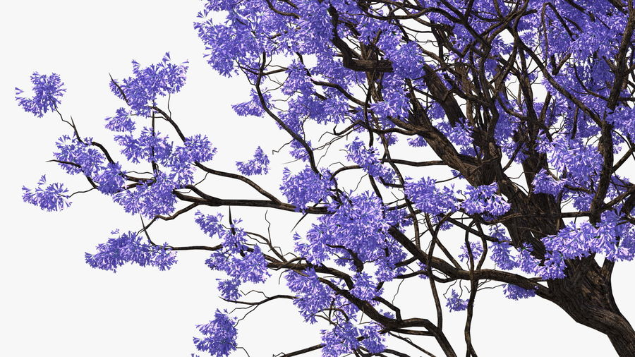 Blühender Jacaranda-Baum ohne Blätter royalty-free 3d model - Preview no. 12