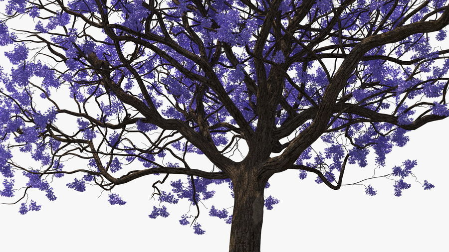 Blühender Jacaranda-Baum ohne Blätter royalty-free 3d model - Preview no. 10