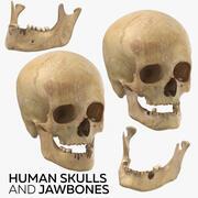 İnsan Kafatasları ve Çene Kemikleri 3d model