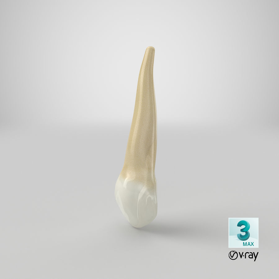 Human Teeth Upper Canine royalty-free 3d model - Preview no. 41