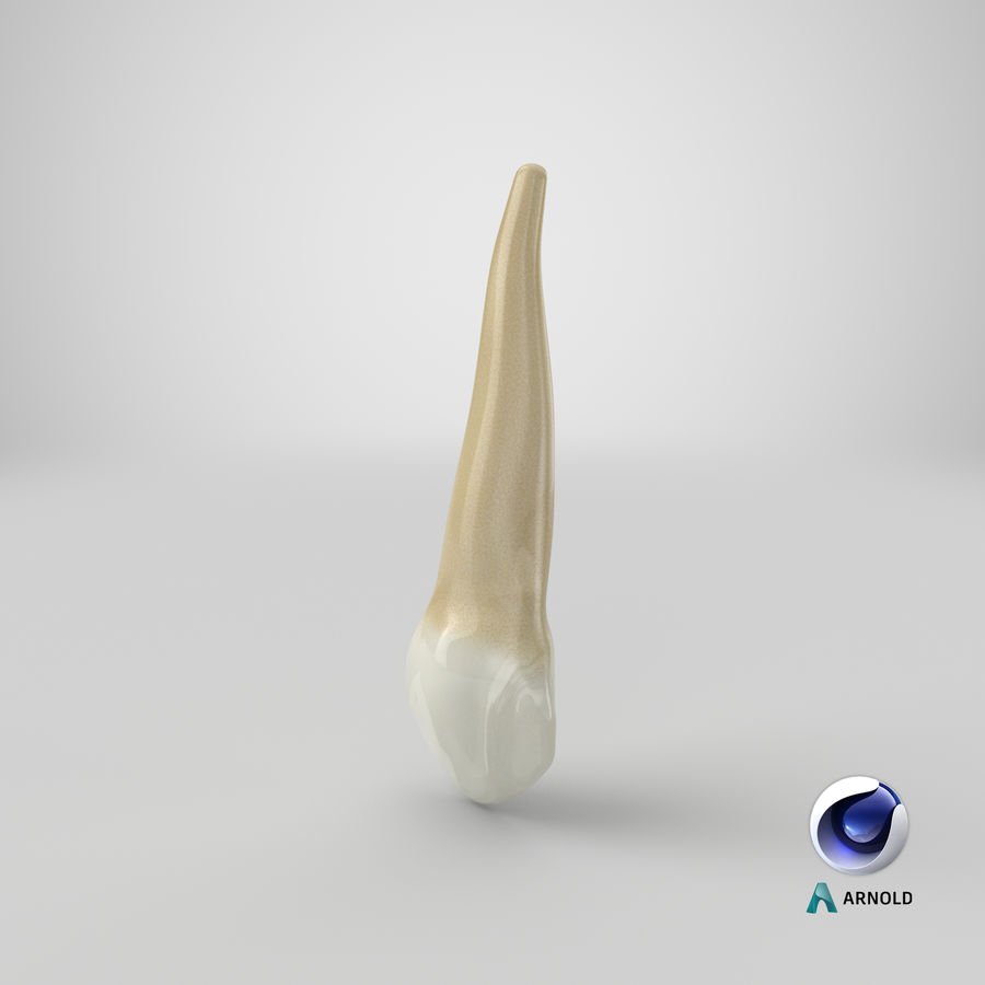 Human Teeth Upper Canine royalty-free 3d model - Preview no. 36