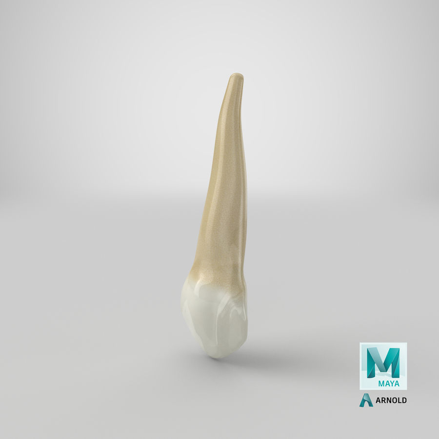 Human Teeth Upper Canine royalty-free 3d model - Preview no. 42