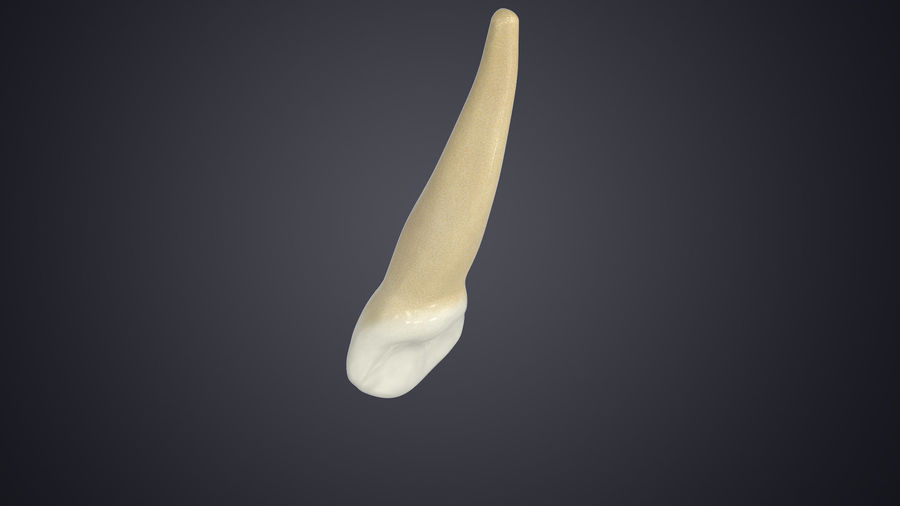 Human Teeth Upper Canine royalty-free 3d model - Preview no. 6