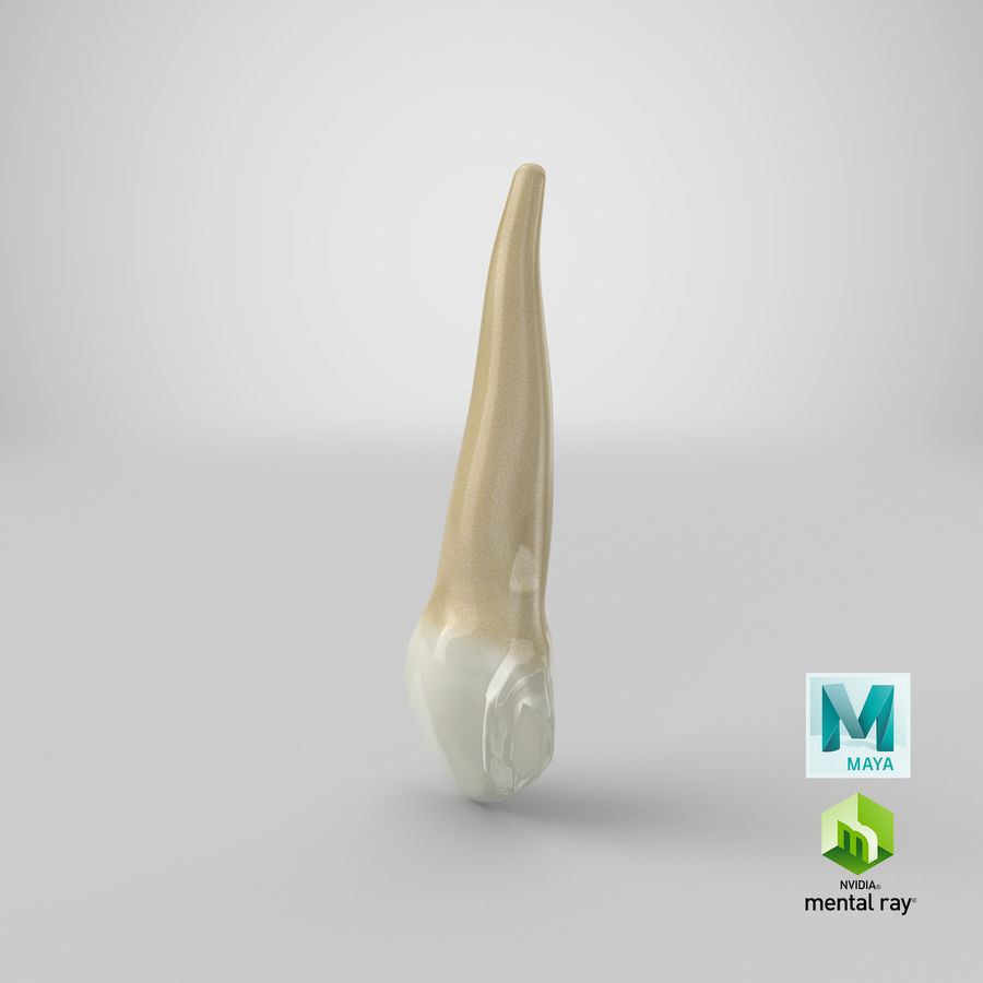 Human Teeth Upper Canine royalty-free 3d model - Preview no. 43