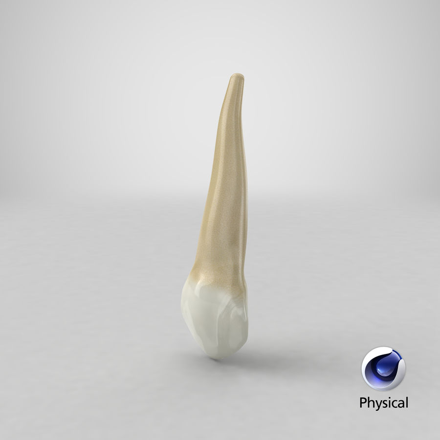 Human Teeth Upper Canine royalty-free 3d model - Preview no. 35