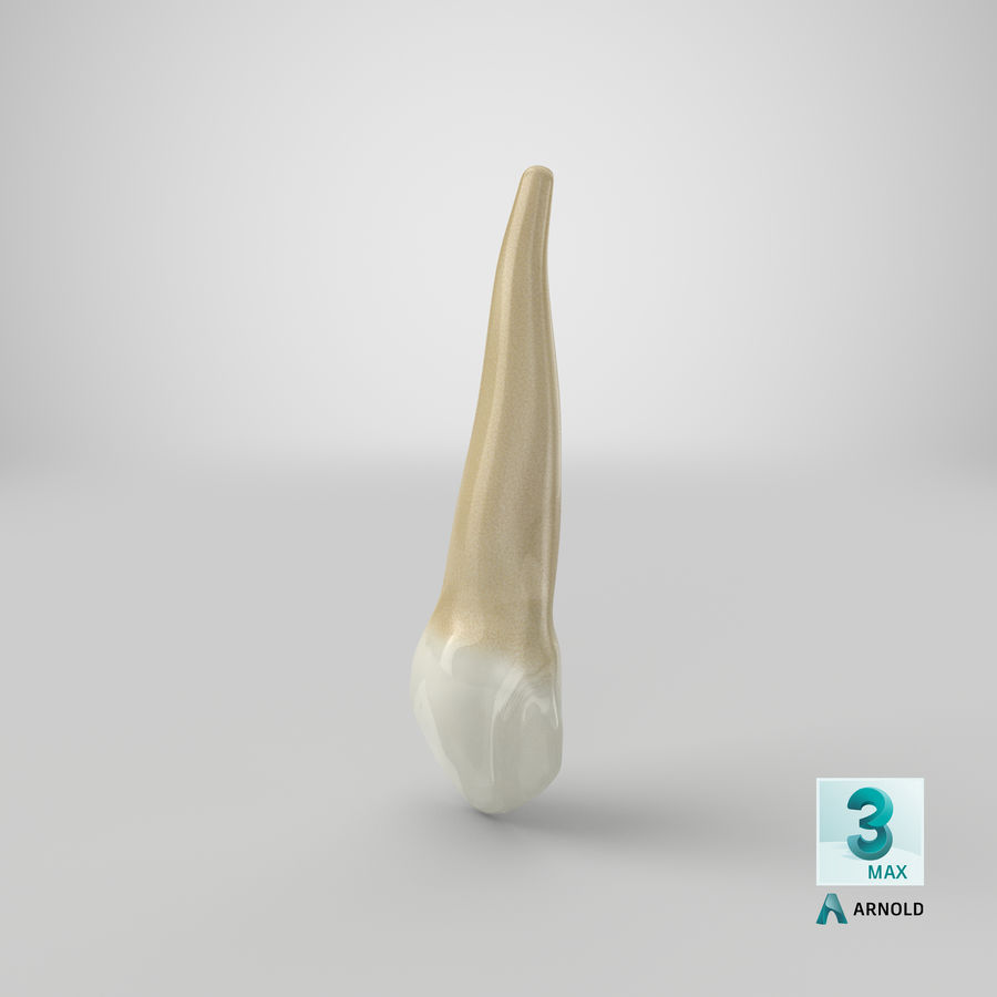 Human Teeth Upper Canine royalty-free 3d model - Preview no. 39