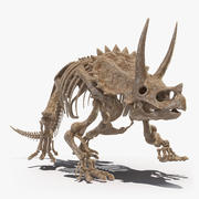 Triceratops Horridus Skeleton Fossil 3d model