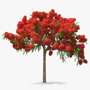 Poinciana blühender Baum 3d model