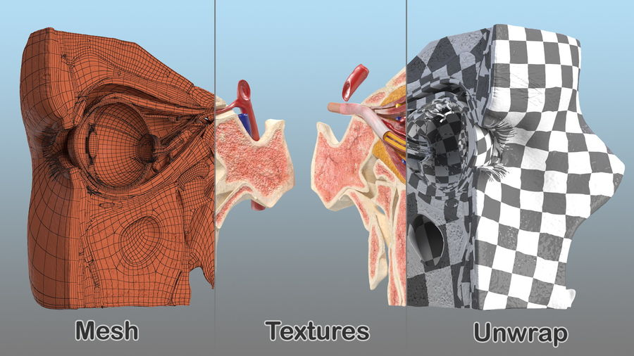 Eye Anatomy Cross-Section royalty-free 3d model - Preview no. 25
