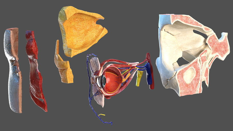Eye Anatomy Cross-Section royalty-free 3d model - Preview no. 13