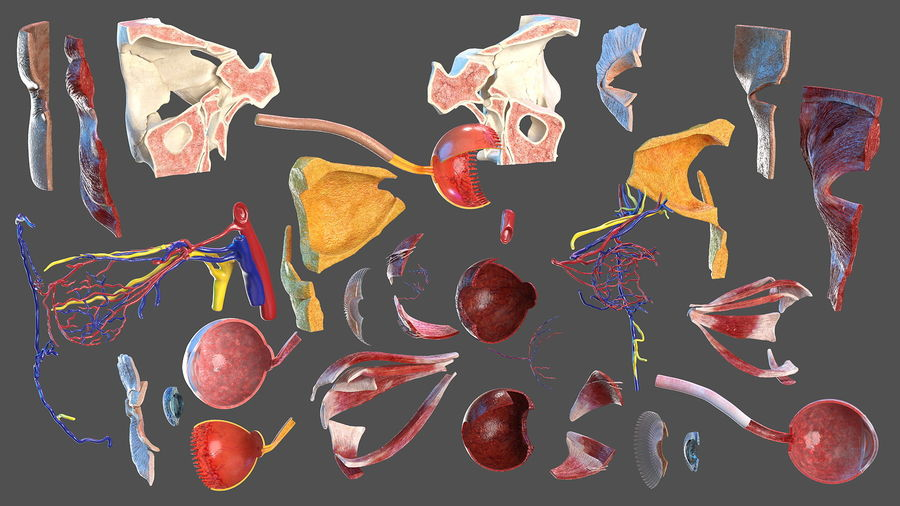 Eye Anatomy Cross-Section royalty-free 3d model - Preview no. 8