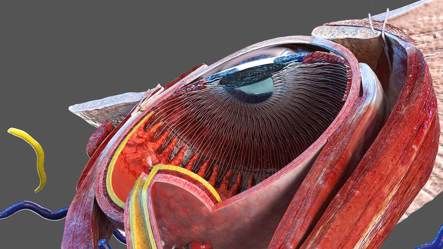 Eye Anatomy Cross-Section royalty-free 3d model - Preview no. 17