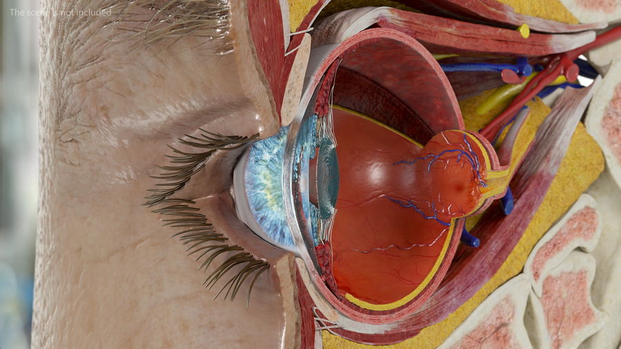 Eye Anatomy Cross-Section royalty-free 3d model - Preview no. 18