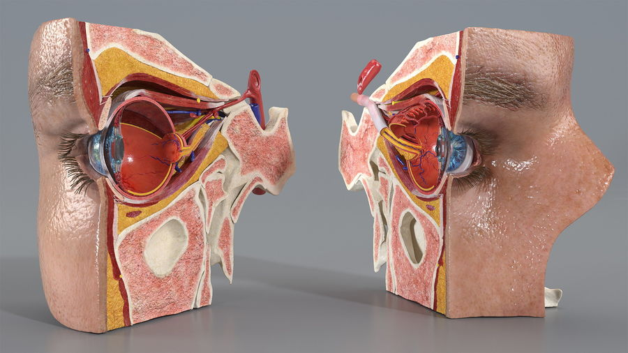 Eye Anatomy Cross-Section royalty-free 3d model - Preview no. 2