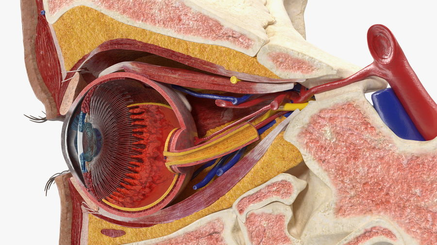 Eye Anatomy Cross-Section royalty-free 3d model - Preview no. 22