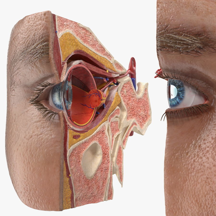 Eye Anatomy Cross-Section royalty-free 3d model - Preview no. 1