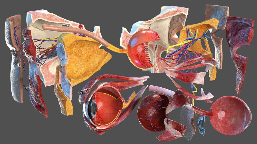 Eye Anatomy Cross-Section royalty-free 3d model - Preview no. 7