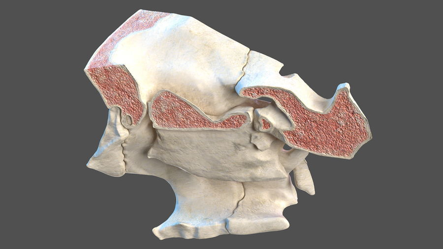 Eye Anatomy Cross-Section royalty-free 3d model - Preview no. 19