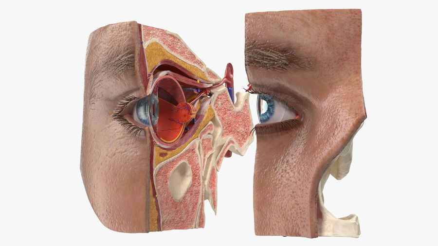 Eye Anatomy Cross-Section royalty-free 3d model - Preview no. 24
