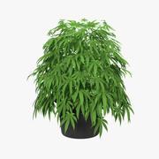 Marijuana Plant in a Pot 3d model