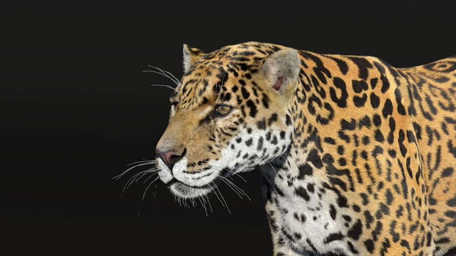Panthera onca royalty-free 3d model - Preview no. 7
